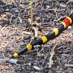 Texas coral snake (Micrurus tener) caudal region; Jenny C., Nolanville TX --- 6 April 2012