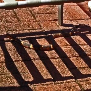 Broad-banded water snake (Nerodia fasciata confluens), body, in shadows; Gaynor, Sugarland, TX --- 17 May 2012