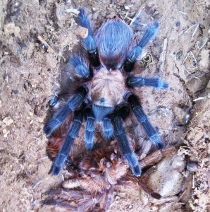 Brown Tarantula (Aphonopelma spp.); dorsum: Elizabeth Friesenhahn, near McKinney, TX --- 12 May 2012