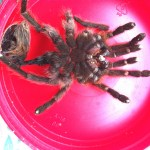 Brown Tarantula (Aphonopelma spp.); cast skin: Elizabeth Friesenhahn, near McKinney, TX --- 12 May 2012