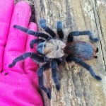 Brown Tarantula (Aphonopelma spp.); a helping hand: Elizabeth Friesenhahn, near McKinney, TX --- 16 May 2012