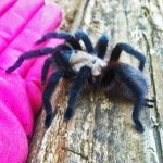 Brown Tarantula (Aphonopelma spp.); from the side: Elizabeth Friesenhahn, near McKinney, TX --- 16 May 2012