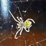 Spitting spider: spiderling dorsum, from south Austin, TX --- 3 August 2012