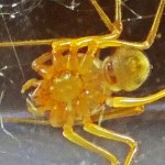 Spitting spider: adult female ventral body, from south Austin, TX --- 3 August 2012