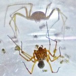 Spitting spider: adult female on web with spiderlings, reflections; from south Austin, TX --- 3 August 2012