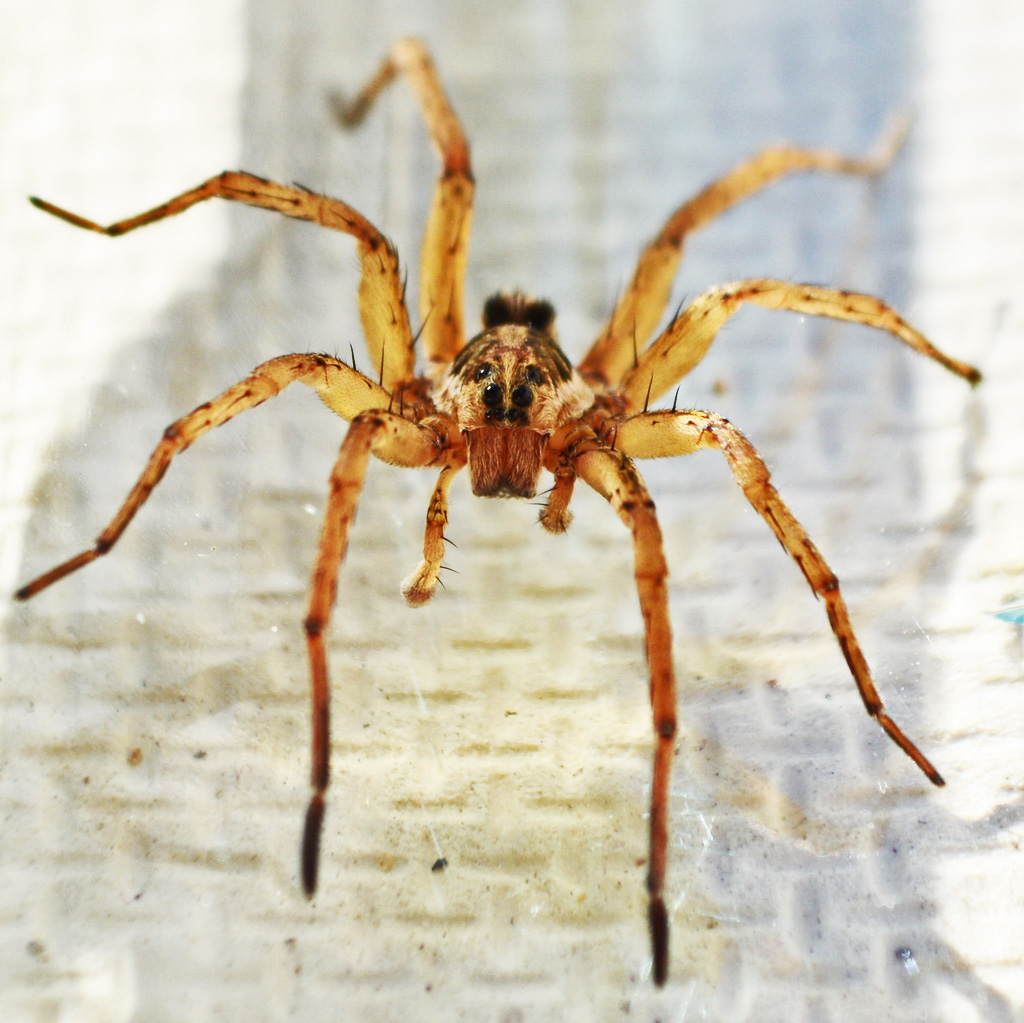 A Male Wolf Spider in College Station, Texas | Bugs In The News