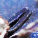 Salticidae: Bagheera male; Katie Baker, Blanco, TX; 26 NOV 2012 --- laterodorsoposterior chelicerae