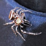 Salticidae: Bagheera male; Katie Baker, Blanco, TX; 26 NOV 2012 --- dorsofrontal habitus