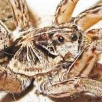 Female Wolf Spider, 3 Jan 2013; Robert Smith, Kempner, TX --- right dorsolateral prosoma