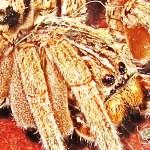 Female Wolf Spider, 3 Jan 2013; Robert Smith, Kempner, TX --- right dorsoanterior prosoma
