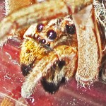 Female Wolf Spider, 3 Jan 2013; Robert Smith, Kempner, TX --- left laterodorsoanterior prosoma