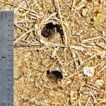 11 X 11 & 8 x 9 MM BURROWS IN SHORTGRASS PRAIRIE; ROBERT SMITH, KEMPNER TEXAS, 7 JAN 2013