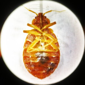 001. Mature Bed Bug, Ventral View