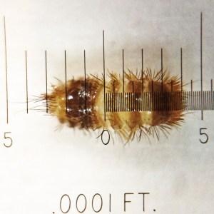 Dermestid beetle larva (approx. 2mm long)