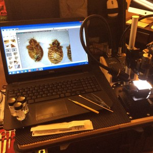 Fig. 002. Bed bugs examined under low magnification, using a digital dissecting microscope with images displayed on a lap-top computer.