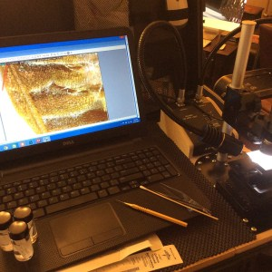 Fig. 003. Examining bed bug genitalia under high magnification to identify the species involved.