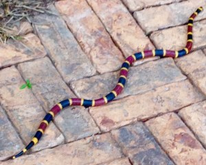 Coral Snake photographed by Jenny Crews,