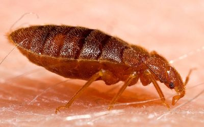 Bed Bug Control and Exterminating