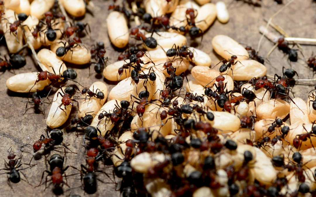 Problem With Ants?