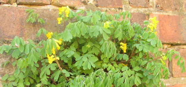 The long, bell-shaped flowers of the Yellow Corydalis