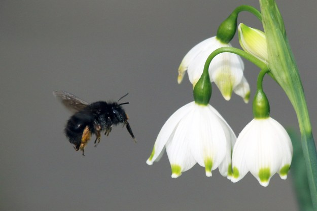 Fabulous photo of female Spring Flower Bee in flight, thanks to By Charlesjsharp (Own work) [CC-BY-SA-3.0 (http://creativecommons.org/licenses/by-sa/3.0)], via Wikimedia Commons