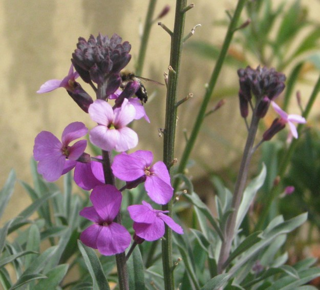 A male Spring Flower Bee on Bowle's Mauve perennial wallflower