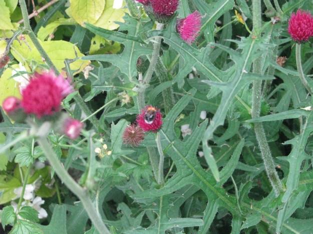 Tree Bumblebee (Bombus hypnorum)