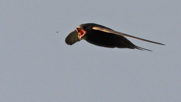A swift feeding, by Johan Stenlund