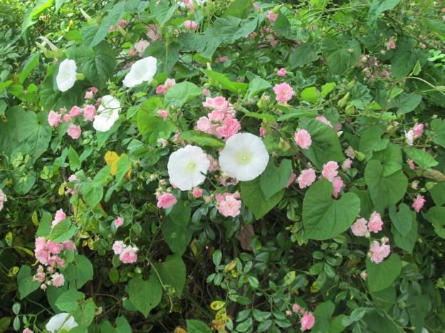 June Weeds Bindweed 006
