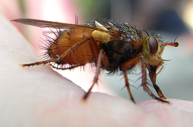 An extremely hairy fly By Siga (Own work) [GFDL (http://www.gnu.org/copyleft/fdl.html) or CC-BY-SA-3.0-2.5-2.0-1.0 (http://creativecommons.org/licenses/by-sa/3.0)], via Wikimedia Commons