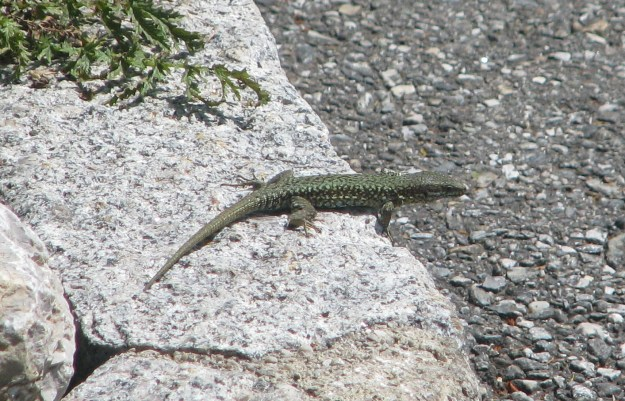 A Green Wall Lizard - not something I ever see in London!