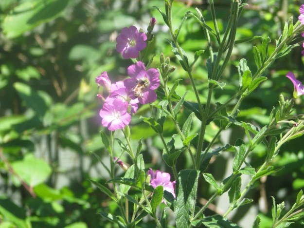 Great Willow Herb Blog 5