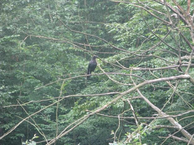 A lone crow.