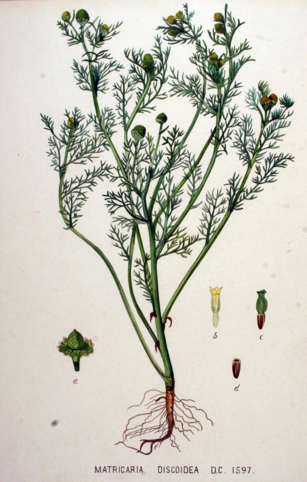 Pineappleweed from  Jan Kops 'Flora Batava'