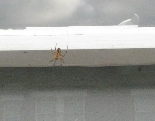 Shy spider retreating ....
