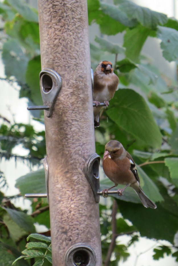 Chaffinch and Goldfinch BP 4