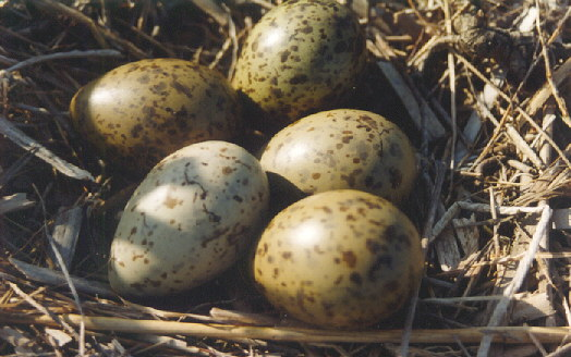 Black-headed Gull eggs (By Algirdas, By Gemma Longman [CC-BY-2.0 (http://creativecommons.org/licenses/by/2.0)], via Wikimedia Commons)