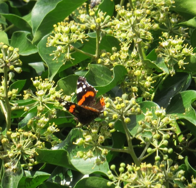 Red Admiral Cropped 2