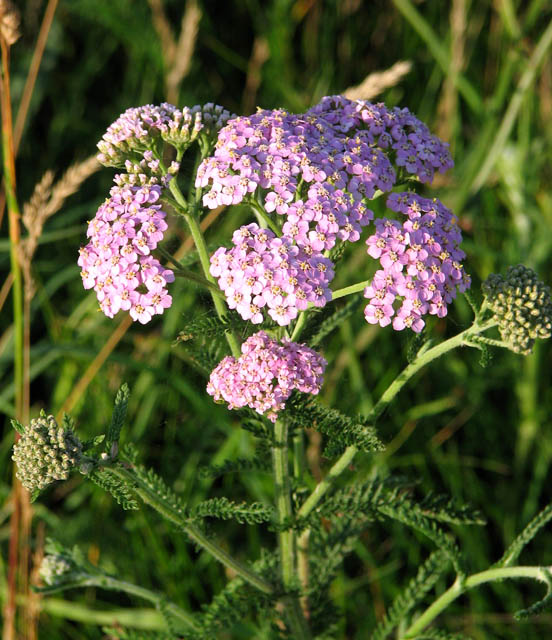 Pale Pink Yarrow (  © Copyright Evelyn Simak and licensed for reuse under this Creative Commons Licence)
