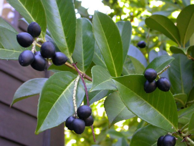 Cherry Laurel berries, growing on a shrub at Stanford University