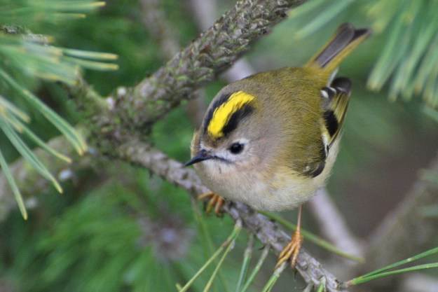 Goldcrest (By Missy Osborn from New Forest, England (GoldCrest  Uploaded by Snowmanradio) [CC BY-SA 2.0 (http://creativecommons.org/licenses/by-sa/2.0)], via Wikimedia Commons)
