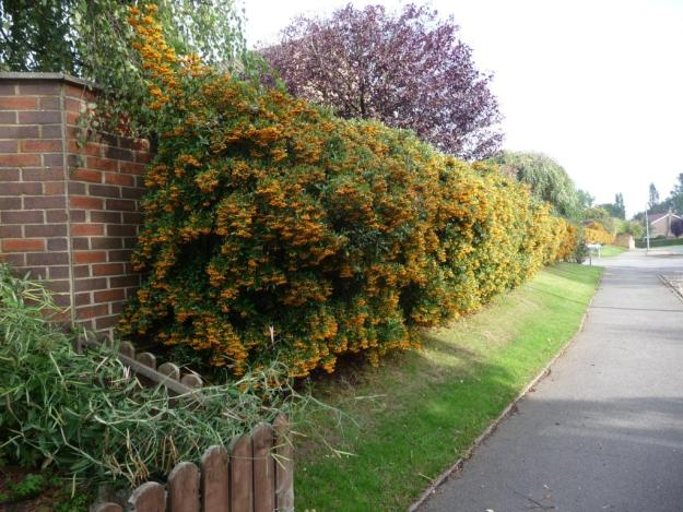 Pyracantha hedge.   © Copyright Christine Johnstone and licensed for reuse under this Creative Commons Licence