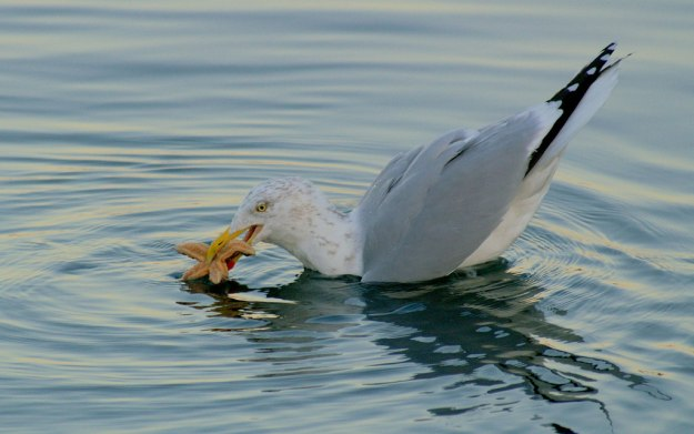 Seaside Herring Gull eating a starfish ( © Copyright Mike Pennington and licensed for reuse under this Creative Commons Licence.)
