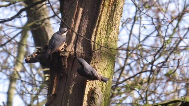 Two nuthatches!