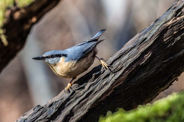 Notice how nuthatches have a very wide stance - they don't hop up the tree with their feet together like woodpeckers. It's all part of the 'jizz' of the bird, the combination of factors that make identification possible (By Smudge 9000 (Flickr: Nuthatch (Sitta europaea)) [CC BY-SA 2.0 (http://creativecommons.org/licenses/by-sa/2.0)], via Wikimedia Commons)