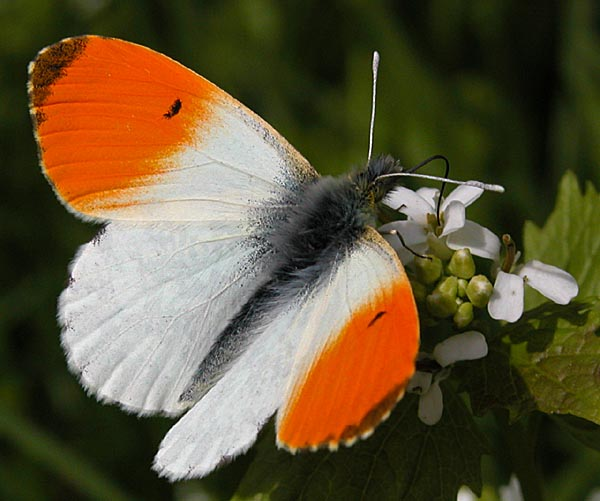 Orange-tip butterfly (By Michael H. Lemmer (http://www.naturkamera.de Own work) [CC BY-SA 2.5 (http://creativecommons.org/licenses/by-sa/2.5)], via Wikimedia Commons)
