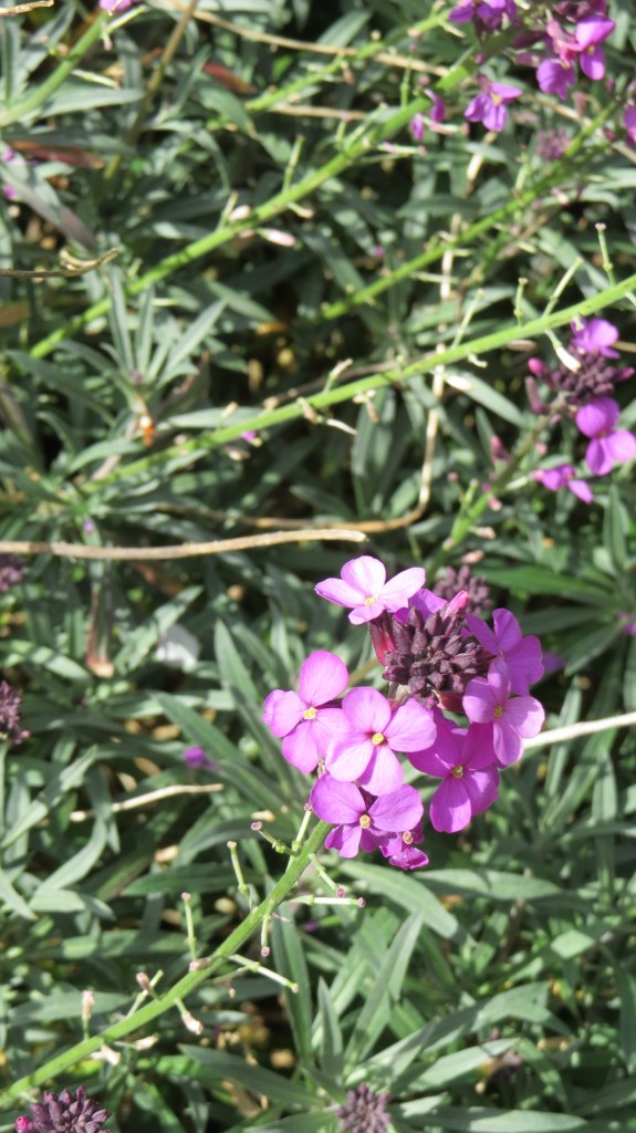 Bowles Mauve - perennial wallflower