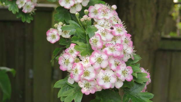 The hawthorn is in full flower at the moment