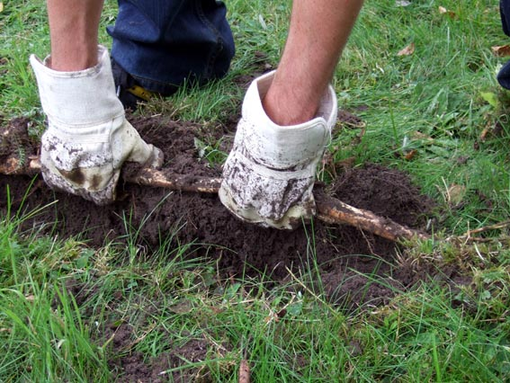 Someone having fun with a Japanese Knotweed rhizome (Klarerwiki [CC BY-SA 2.0 de (http://creativecommons.org/licenses/by-sa/2.0/de/deed.en)], via Wikimedia Commons)