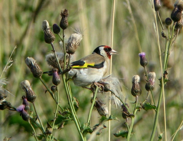"Goldfinch feeding on Creeping Thistle (""Carduelis carduelis2"" by photo MPF - Own work. Licensed under CC BY-SA 3.0 via Wikimedia Commons - https://commons.wikimedia.org/wiki/File:Carduelis_carduelis2.jpg#/media/File:Carduelis_carduelis2.jpg)"